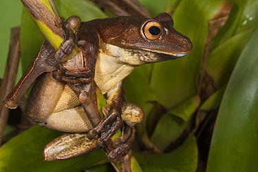 Giant Gladiator Treefrog (Hypsiboas boans), northwest Ecuador  -  Pete Oxford