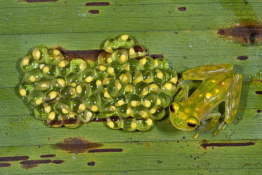 Glass Frog (Hyalinobatrachium aureoguttatum) parent on leaf  with developing eggs, northwest Ecuador  -  Pete Oxford