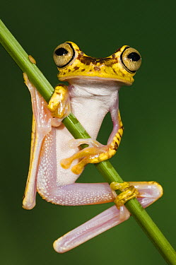 Chachi Tree Frog (Hypsiboas picturatus), northwest Ecuador  -  Pete Oxford