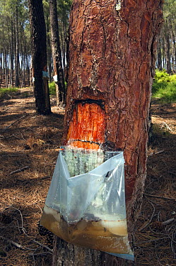 Pine (Pinus sp) sap is collected to make paint and pine resin products, northern Portugal  -  Pete Oxford