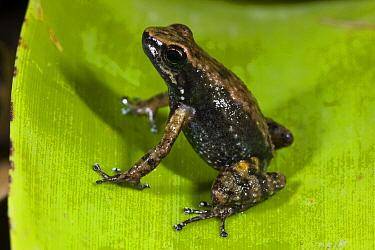 Southern Frog (Pristimantis sp), northwest Ecuador  -  Pete Oxford
