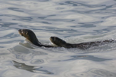 North American River Otter (Lontra canadensis) pair swimming, Prince William Sound, Alaska  -  Michael Quinton