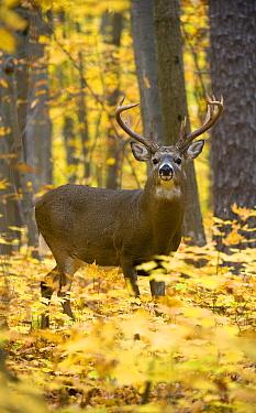 White-tailed Deer (Odocoileus virginianus) buck in deciduous forest in autumn, North America  -  Mark Raycroft