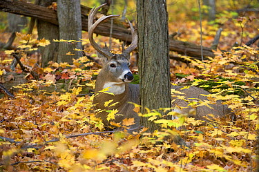 White-tailed Deer (Odocoileus virginianus) buck bedding in deciduous forest in autumn, North America  -  Mark Raycroft