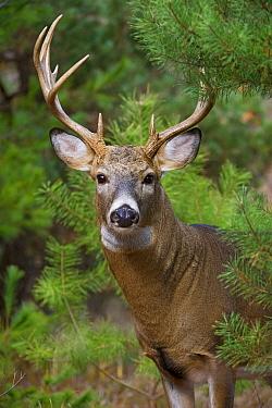 White-tailed Deer (Odocoileus virginianus) buck, North America  -  Mark Raycroft
