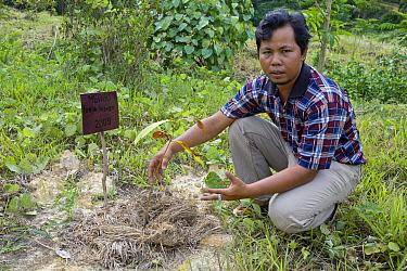 Borneo Teak (Afzelia bijuga) seedling and conservation coordinator Ahmad Azhari at orangutan habitat restoration site, Gunung Leuser National Park, Indonesia  -  Suzi Eszterhas