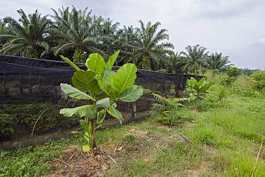 Tropical Almond (Terminalia sp) at orangutan habitat restoration site, Gunung Leuser National Park, Indonesia  -  Suzi Eszterhas