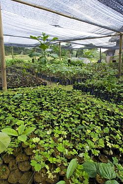 Seedlings in nursery at orangutan habitat restoration site, Gunung Leuser National Park, Indonesia  -  Suzi Eszterhas