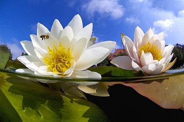 White Water Lily (Nymphaea alba) and Bee (Apidae), Netherlands  -  Peter Verhoog/ Buiten-beeld