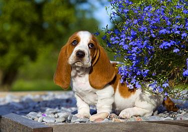 Basset Hound (Canis familiaris) puppy  -  Mark Raycroft