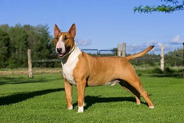 Bull Terrier (Canis familiaris)  -  Mark Raycroft
