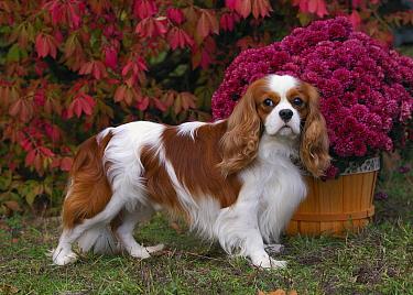 Cavalier King Charles Spaniel (Canis familiaris)  -  Mark Raycroft