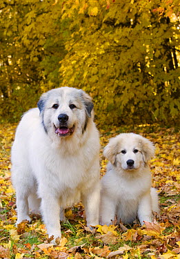 Great Pyrenees (Canis familiaris) adult and puppy  -  Mark Raycroft