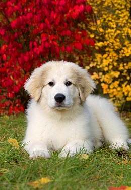 Great Pyrenees (Canis familiaris) puppy  -  Mark Raycroft