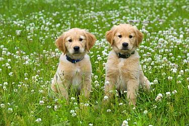 Golden Retriever (Canis familiaris) puppies  -  Mark Raycroft