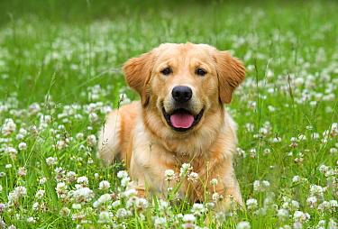 Golden Retriever (Canis familiaris)  -  Mark Raycroft