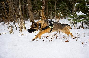 German Shepherd (Canis familiaris) police dog running in snow  -  Mark Raycroft