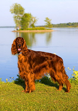 Irish Setter (Canis familiaris)  -  Mark Raycroft