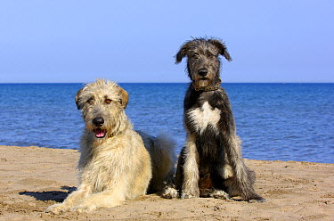 Irish Wolfhound (Canis familiaris) adult and puppy  -  Mark Raycroft