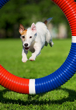 Jack Russell Terrier (Canis familiaris) jumping through obstacle  -  Mark Raycroft