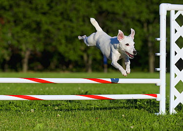 Jack Russell Terrier (Canis familiaris) jumping over obstacle  -  Mark Raycroft
