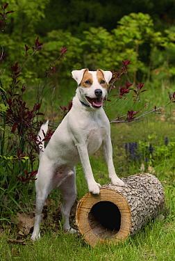 Jack Russell Terrier (Canis familiaris)  -  Mark Raycroft