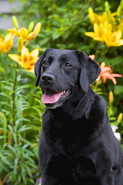 Black Labrador Retriever (Canis familiaris)  -  Mark Raycroft