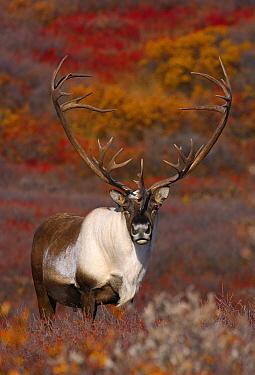 Caribou (Rangifer tarandus) bull in tundra, Alaska  -  Mark Raycroft