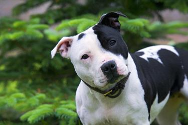 Staffordshire Bull Terrier (Canis familiaris)  -  Mark Raycroft
