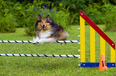 Shetland Sheepdog (Canis familiaris) jumping over obstacle  -  Mark Raycroft