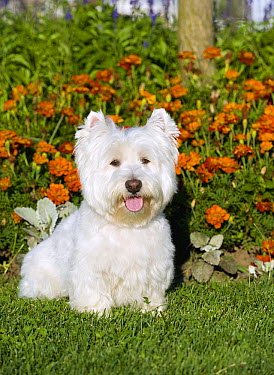 West Highland White Terrier (Canis familiaris)  -  Mark Raycroft