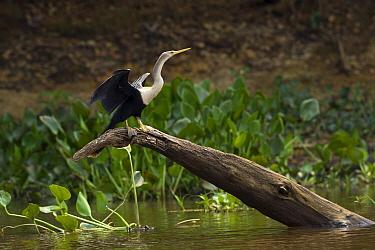 American Darter (Anhinga anhinga) drying wings, Pantanal, Brazil  -  Suzi Eszterhas