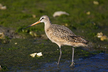 Marbled Godwit (Limosa fedoa) walking along shore, Monterey Bay, California  -  Suzi Eszterhas