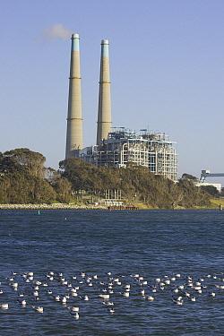 Bonaparte's Gull (Larus philadelphia) flock with natural gas power plant in background, Moss Landing, California  -  Suzi Eszterhas