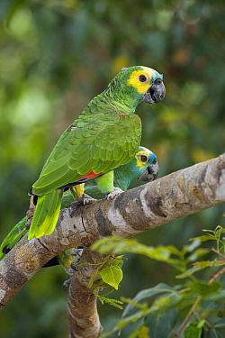 Blue-fronted Parrot (Amazona aestiva) pair, Pantanal, Brazil  -  Suzi Eszterhas