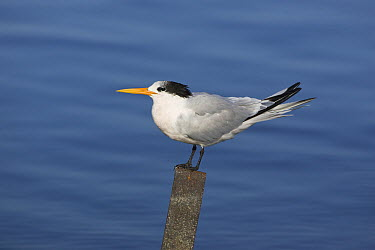 Royal Tern (Thalasseus maximus) perching on post, Elkhorn Slough, California  -  Suzi Eszterhas