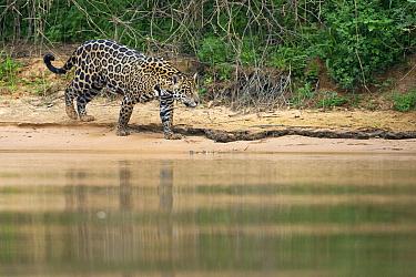 Jaguar (Panthera onca) walking on riverbank, Cuiaba River, Brazil  -  Suzi Eszterhas