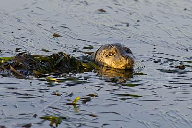 Harbor Seal (Phoca vitulina) in eelgrass, Monterey Bay, California  -  Suzi Eszterhas