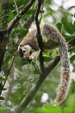 Grizzled Giant Squirrel (Ratufa macroura) feeding, Sigirya, Sri Lanka  -  Ch'ien Lee