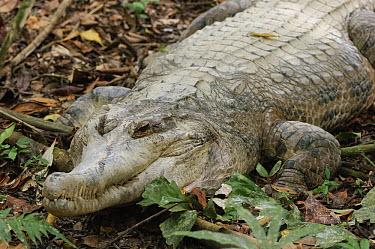 False Gharial (Tomistoma schlegelii), Jong's Crocodile Farm, Kuching, Borneo, Malaysia  -  Ch'ien Lee