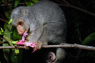 Short-tailed Spotted Cuscus (Spilocuscus maculatus) juvenile feeding on flower, Nabire, Indonesia  -  Ch'ien Lee