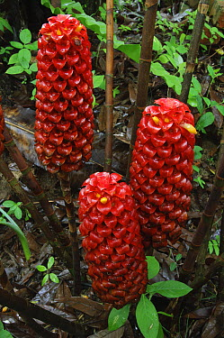 Indonesian Wax Ginger (Tapeinochilos ananassae) flowering, Kuching, Borneo, Malaysia  -  Ch'ien Lee