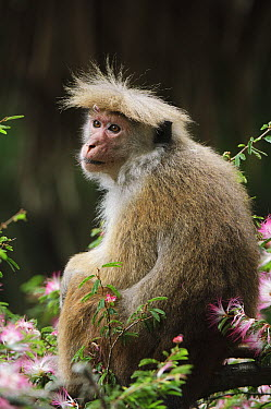 Toque Macaque (Macaca sinica), Hakgala Botanical Garden, Nuwara Eliya, Sri Lanka  -  Ch'ien Lee