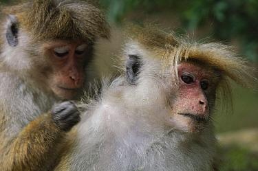 Toque Macaque (Macaca sinica) pair grooming, Hakgala Botanical Garden, Nuwara Eliya, Sri Lanka  -  Ch'ien Lee