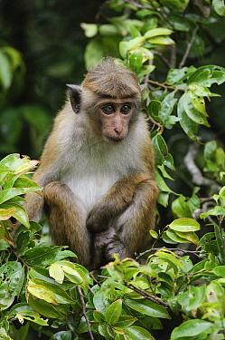 Toque Macaque (Macaca sinica) juvenile sitting in tree, Nuwara Eliya, Sri Lanka  -  Ch'ien Lee