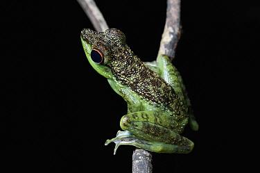 Mindanao Splash Frog (Staurois natator), Mulu National Park, Borneo, Malaysia  -  Ch'ien Lee