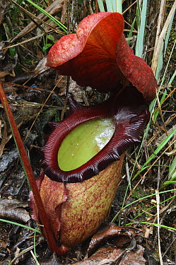 Pitcher Plant (Nepenthes rajah) pitcher, Kinabalu National Park, Malaysia  -  Ch'ien Lee
