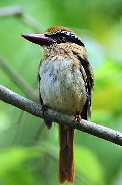 Lilac-cheeked Kingfisher (Cittura cyanotis), Tangkoko Nature Reserve, Sulawesi, Indonesia  -  Ch'ien Lee