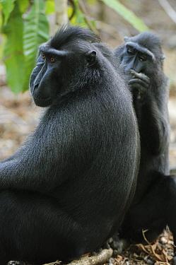 Celebes Black Macaque (Macaca nigra) pair grooming, Tangkoko Nature Reserve, Sulawesi, Indonesia  -  Ch'ien Lee