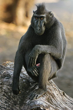 Celebes Black Macaque (Macaca nigra), Tangkoko Nature Reserve, Sulawesi, Indonesia  -  Ch'ien Lee